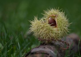 Chestnut  D71-5958 by BiBiARTs