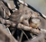Baby Zebra Finches 2 by Chezza932