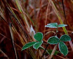 Frost: Blackberry Leaves 2 by Wyrdhaven