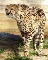 Cheetah Stock 1 by HOTNStock