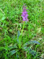 Common Purple Orchid by MakinMagic