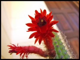 Cactus Flowers by eRiQ