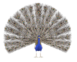 STOCK PNG peacock4 by MaureenOlder