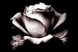 Rose - Black And White by El-Sharra