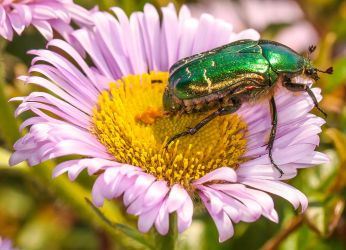 Green rose chafer taking a dump by Vitaloverdose
