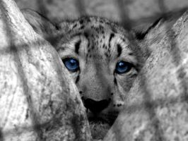Baby snow leopard by h3llzcupcake