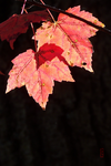 Pretty Red Leaves (of Death) by Crigger