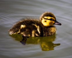 Day-old Duckling by Mincingyoda