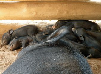 George Washington's Piglets by littlereview