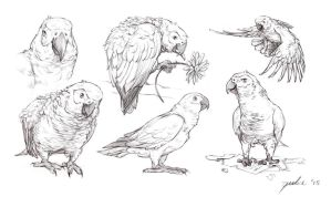Sketches: African Greys by Buskelure
