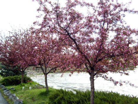 pink trees by candescere