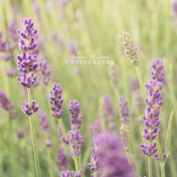 Lavender by MadSubstance