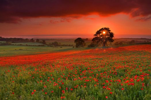 HAPPY REMEMBRANCE DAY - A FIELD OF POPPY'S by ROGUE-RATTLESNAKE