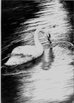 Swan by hilittled