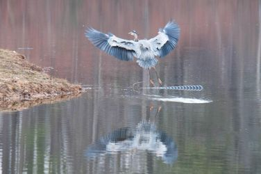 Birds At The Lake XV by LDFranklin