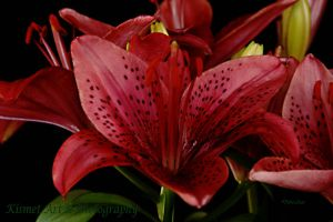 Lily in Red  030 by Deb-e-ann