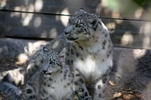 Snow leopard and cub by artbyjpp
