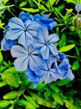 Mexican Blue by JoyJinn