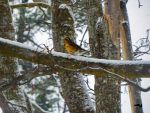 Snowstorm Thrush  by wolfwings1