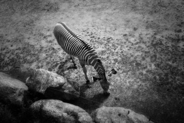Zebra Black And White by EmmyLundholm