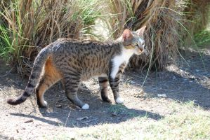 Spotted Tabby by CompassLogicStock