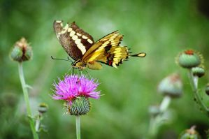 Yellow Swallowtail by AndrewCarrell1969