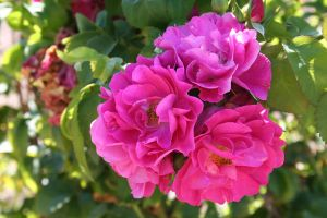 Rose Bunches by MaiaQQ