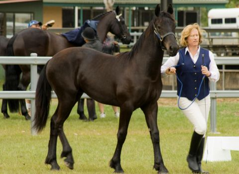 Partbred Friesian trot 2 by AmoretteRose