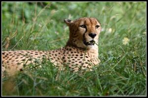 Relaxing Cheetah by AF--Photography