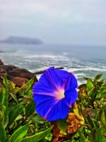bindweed HDR by blackpixifotos