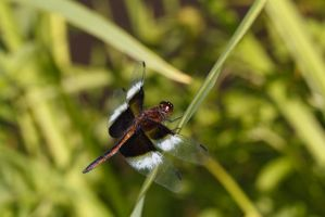 Another Dragonfly by BlackRoomPhoto