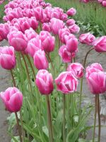 Tulips 19 by whisper-n-the-wind