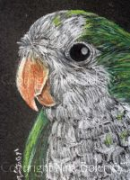 Quaker Parrot ACEO by The-GoblinQueen