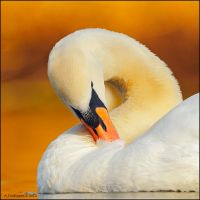 Mute Swan In Evening Sun. by andy-j-s
