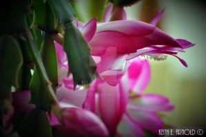 Christmas Cactus by KEArnold