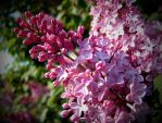 Pink Lilac Flowers by AstarothSquirrel