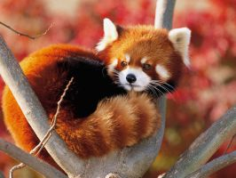 Red Panda - Fluffy style by Detrucci