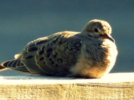 Mourning Dove on the Railing. by Michies-Photographyy