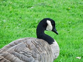 The Great Canadian Goose by wolfwings1
