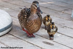 Ducklings With Mom by amrodel