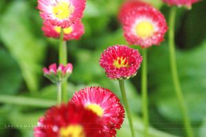 lovely flowers_94 by Marsulu
