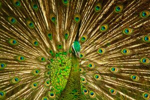 Peacock by maabbus