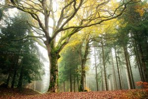 Lordly Oak by FlorentCourty