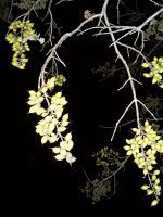Euonymus seed pods at night by caspercrafts