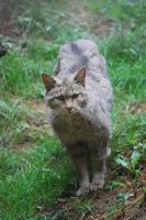 European Wild Cat by NicamShilova