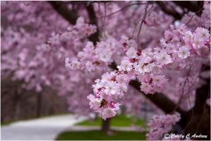 Blooming Cherry Blossoms by CecilyAndreuArtwork