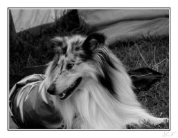 Rough Collie by hellfire321