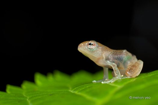Transulcent frog by melvynyeo
