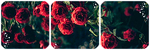 Roses Divider by LaraLeeL