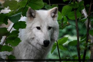 Hudson Bay Wolf 119 by Canisography